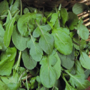 Rocket - salad - approx 2000 seeds